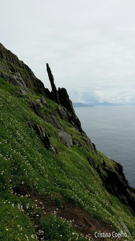 Spotted green of white flowers in contrast to the dark rock - Skellig Michael