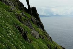 Verde pintalgado de flores brancas em contraste com o escuro da rocha - Skellig Michael